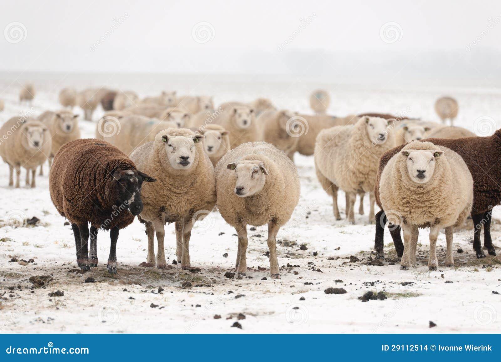 Troupeau des moutons dans la neige photo stock image du - Photos de moutons gratuites ...