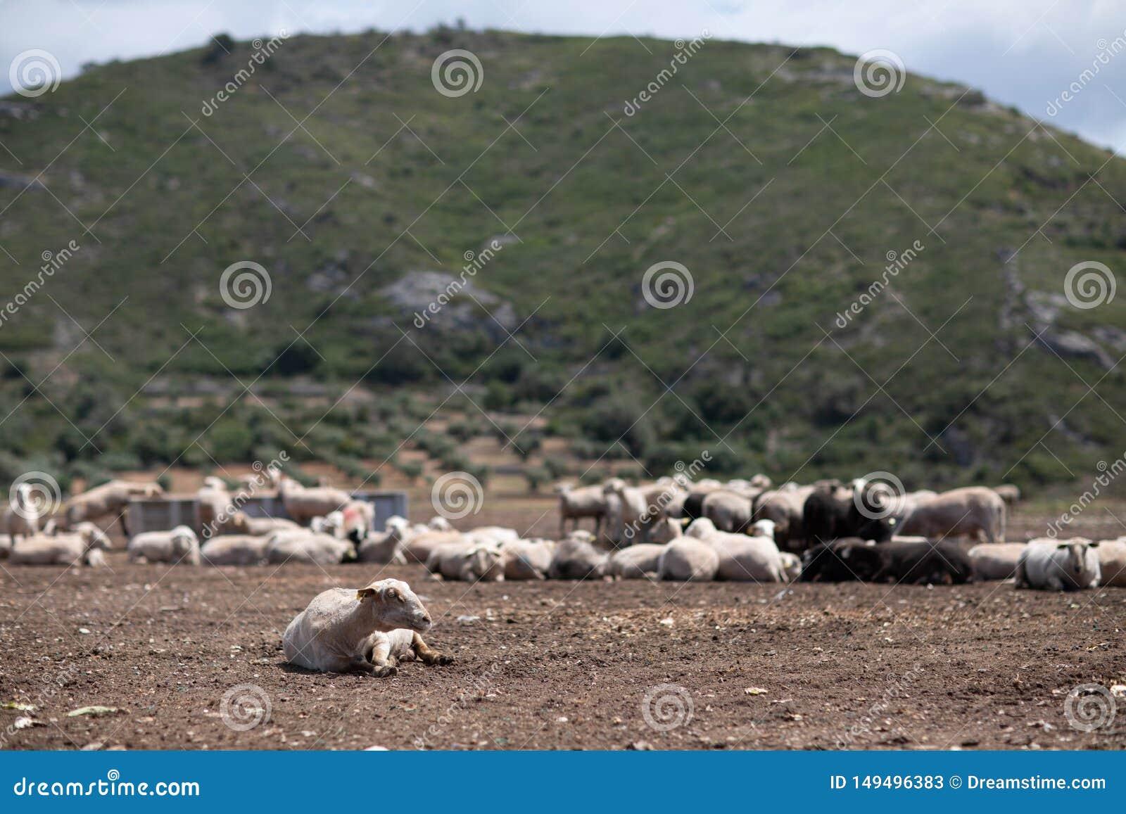 Troupeau des moutons dans le domaine