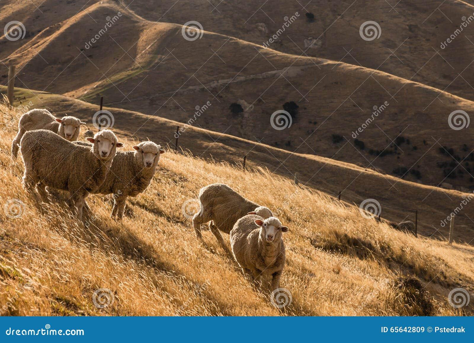 Troupeau des moutons sur les collines ensoleillées