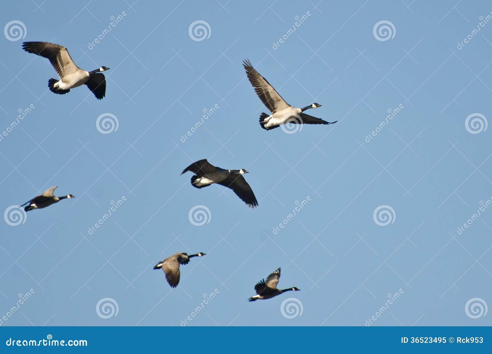 Troupeau des oies volant dans un ciel bleu