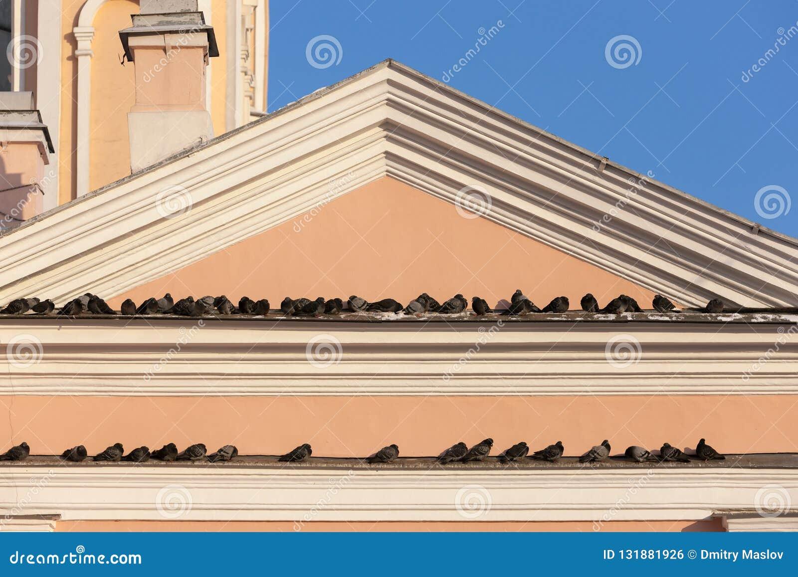 Troupeau des pigeons sur les gouttières