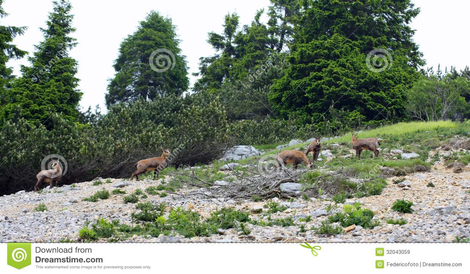 Troupeau sauvage de chamois dans le sauvage tandis que frôlez parmi les roches
