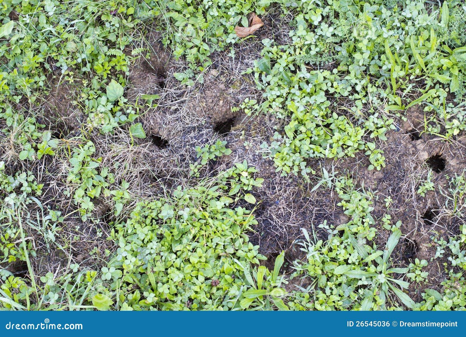 trous de souris sur la pelouse de jardin image libre de droits image 26545036. Black Bedroom Furniture Sets. Home Design Ideas