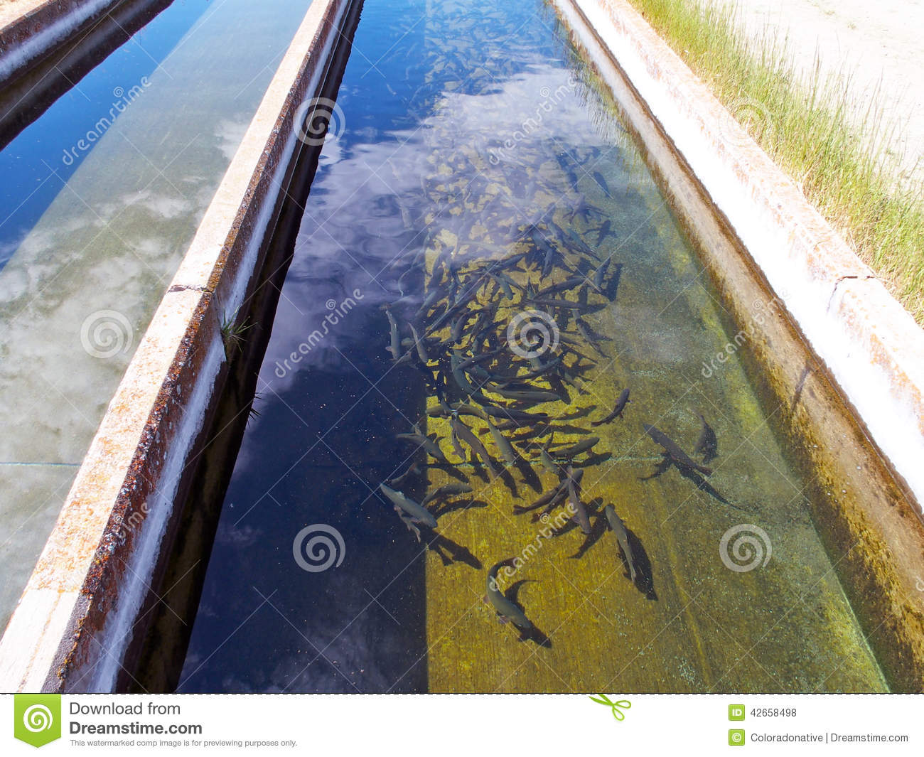 trout in fish hatchery raceway stock photo image 42658498