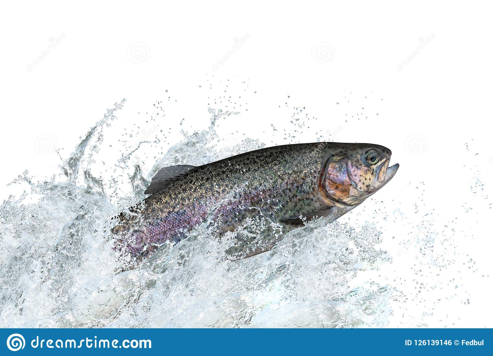 Trout fish jumping with splashing in water