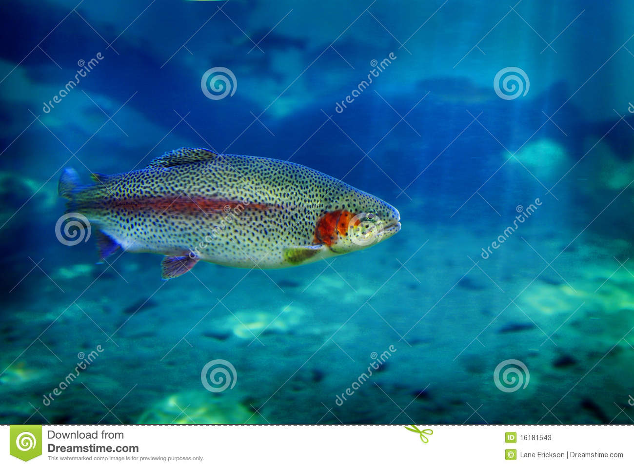Trout fish swimming stock image image of fresh seafood for Dream of fish swimming
