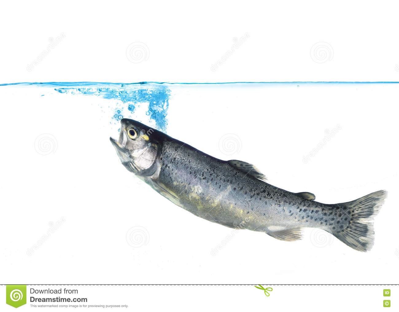 Download Trout jumping into water stock photo. Image of meal, lunch - 77032654