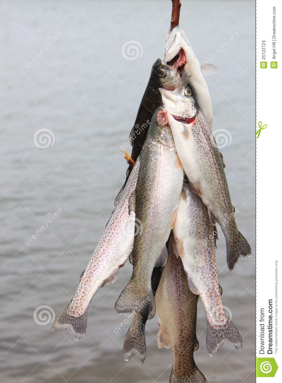 Trout on a line stock images image 25122724 for How to use a fish stringer