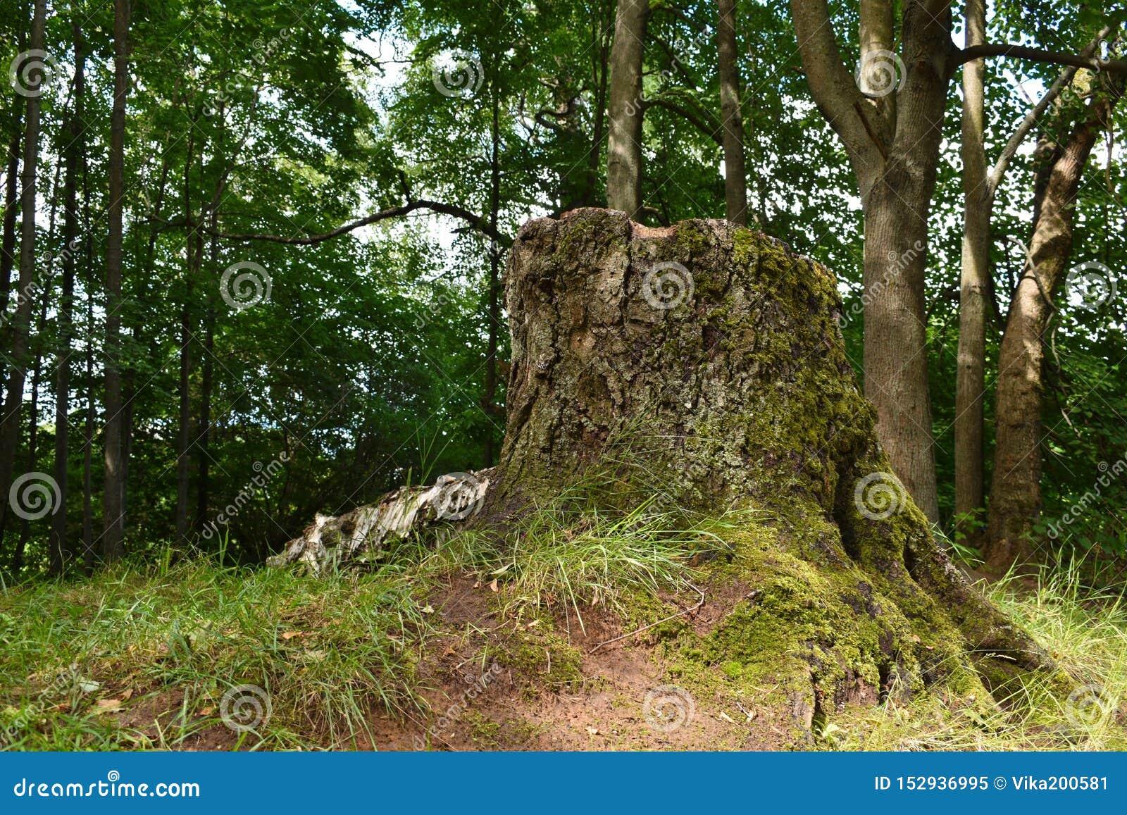 Trozo grande del árbol viejo Trozo en el parque