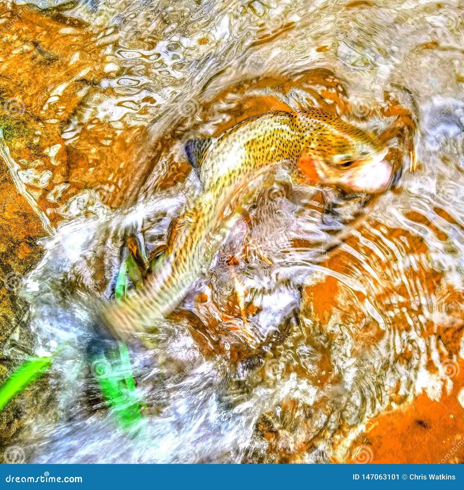 Trucha arco iris en una corriente