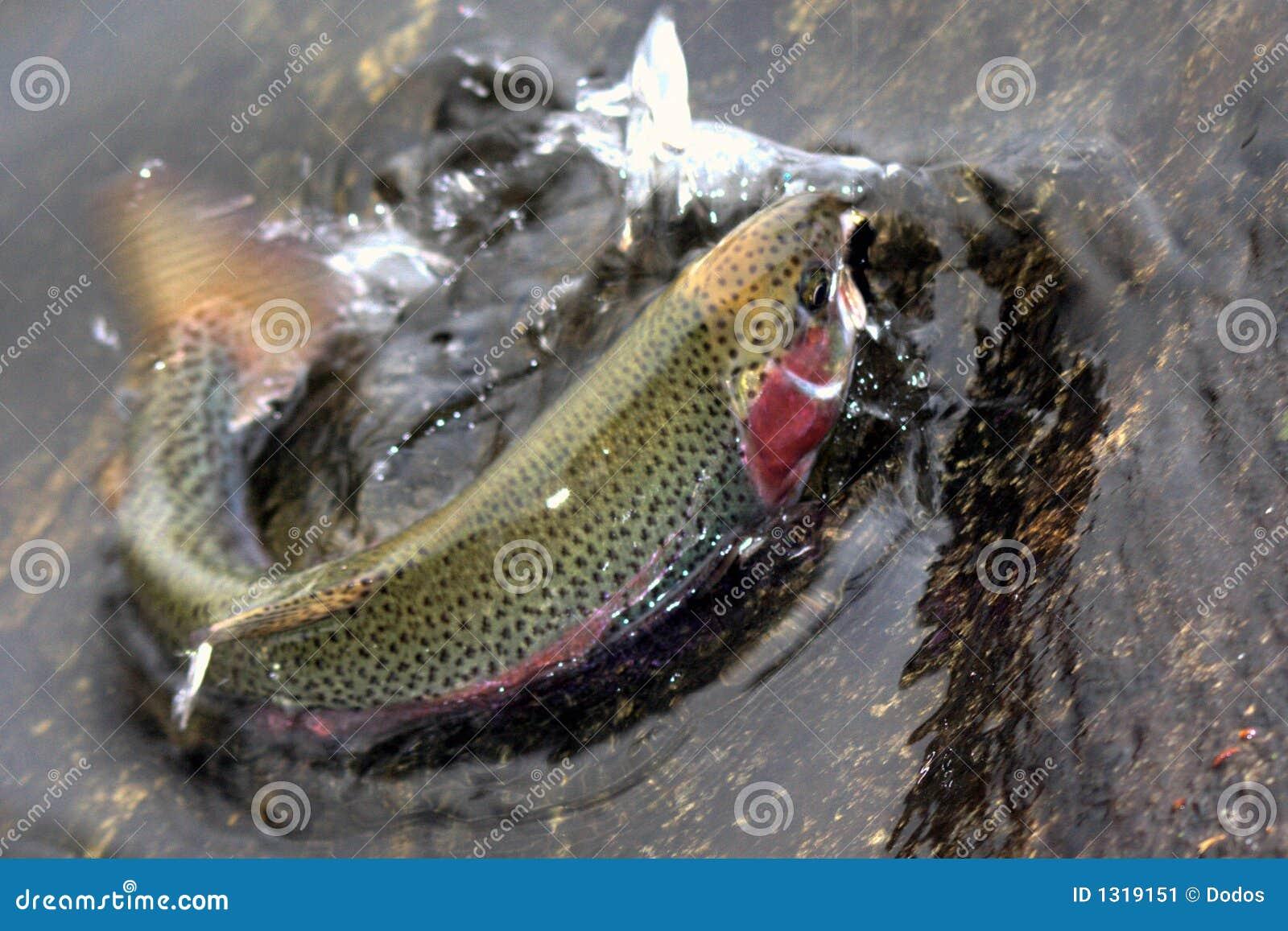 Trucha de arco iris