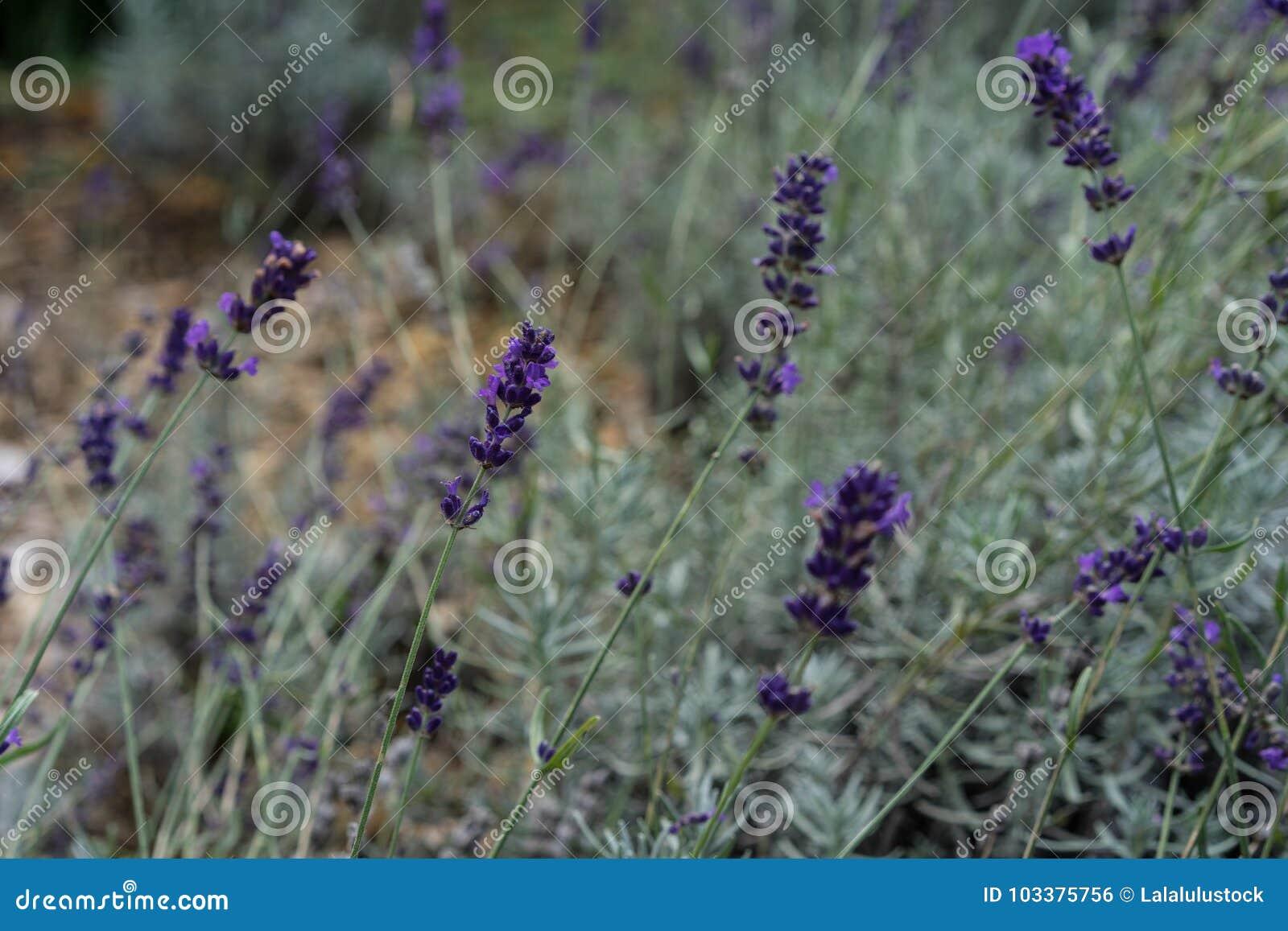 Lavender herb plant lavandula angustifolia lamiaceae from europe in garden