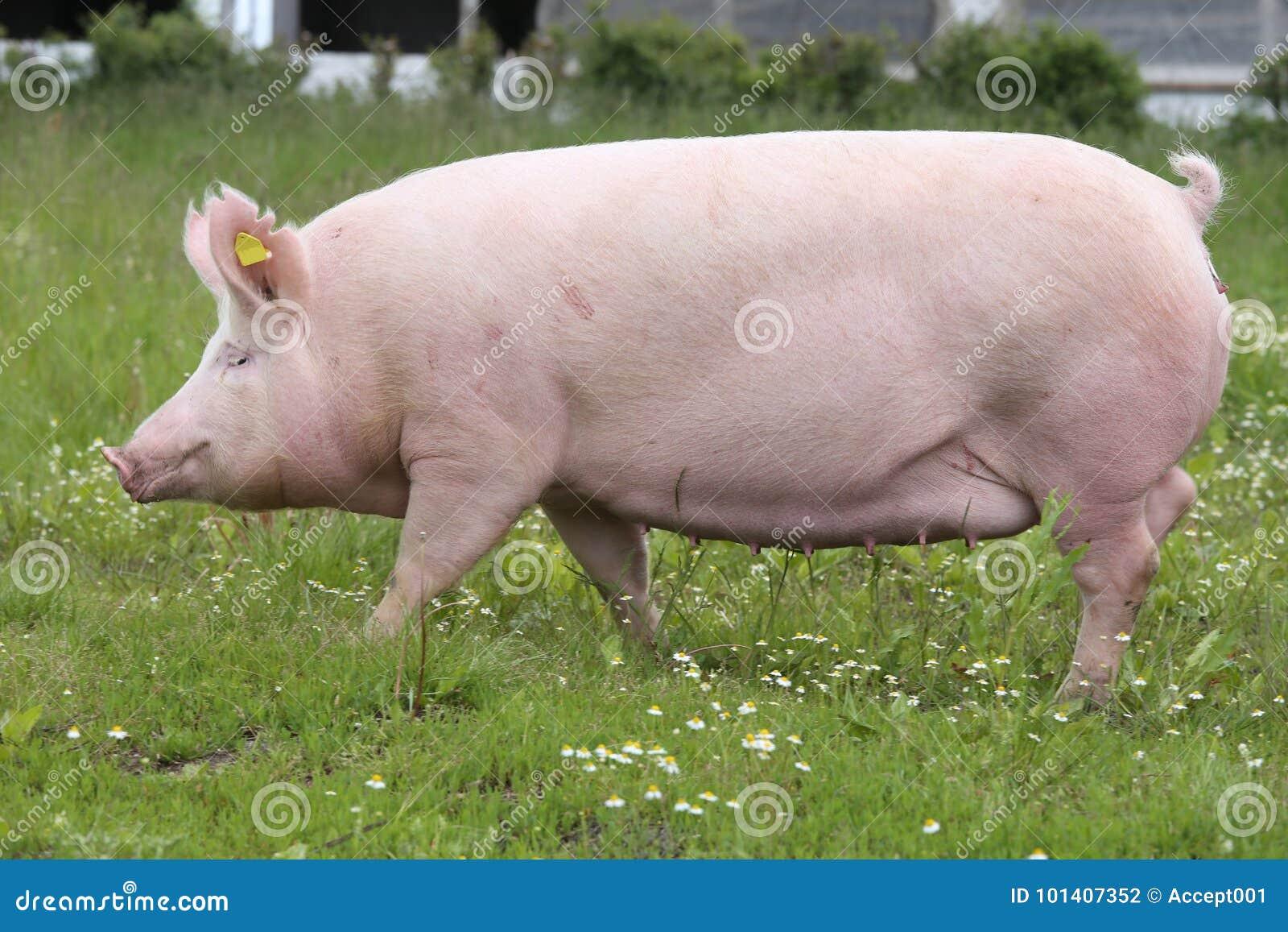 Truie domestique de porc posant sur le pré frais d herbe verte