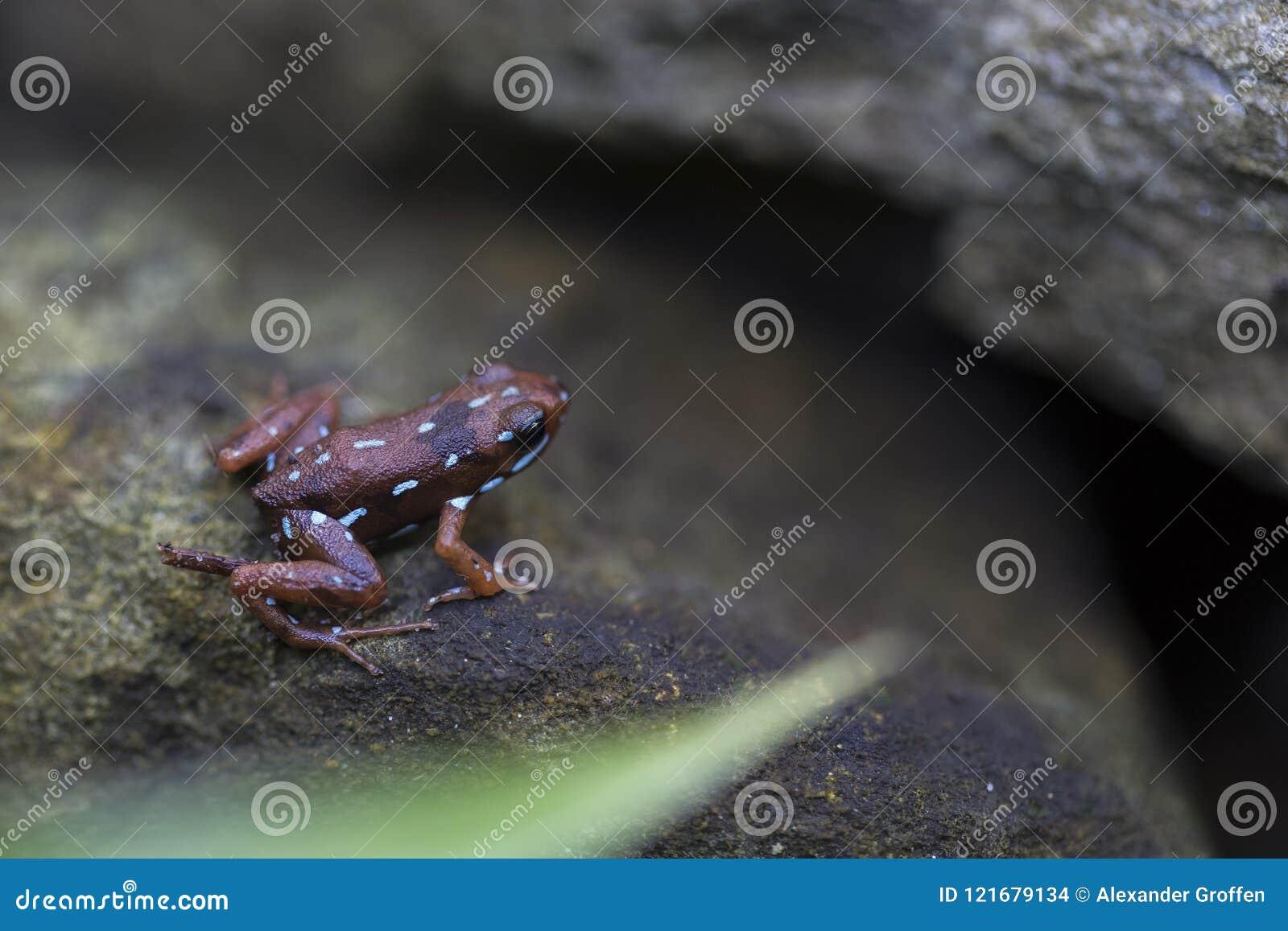 Truje strzałki żaby