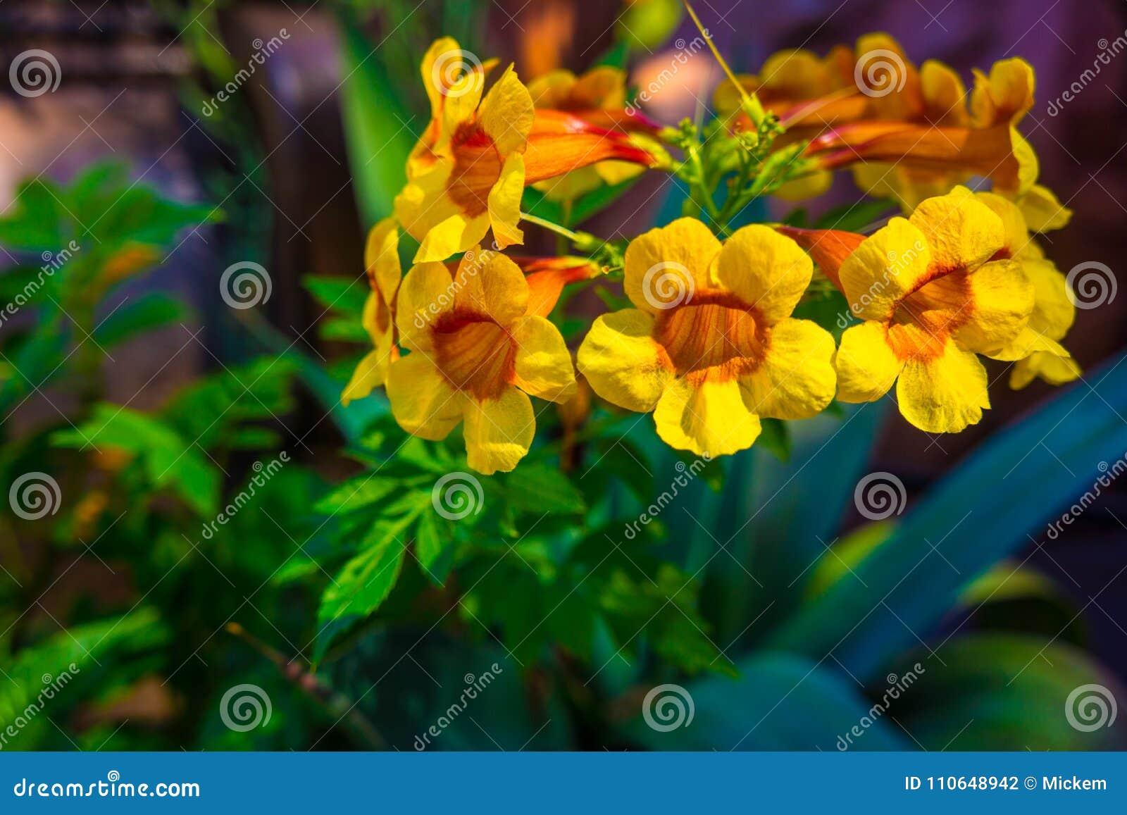 Trumpet bush vine flower closeup stock photo image of bells download trumpet bush vine flower closeup stock photo image of bells blooming 110648942 mightylinksfo