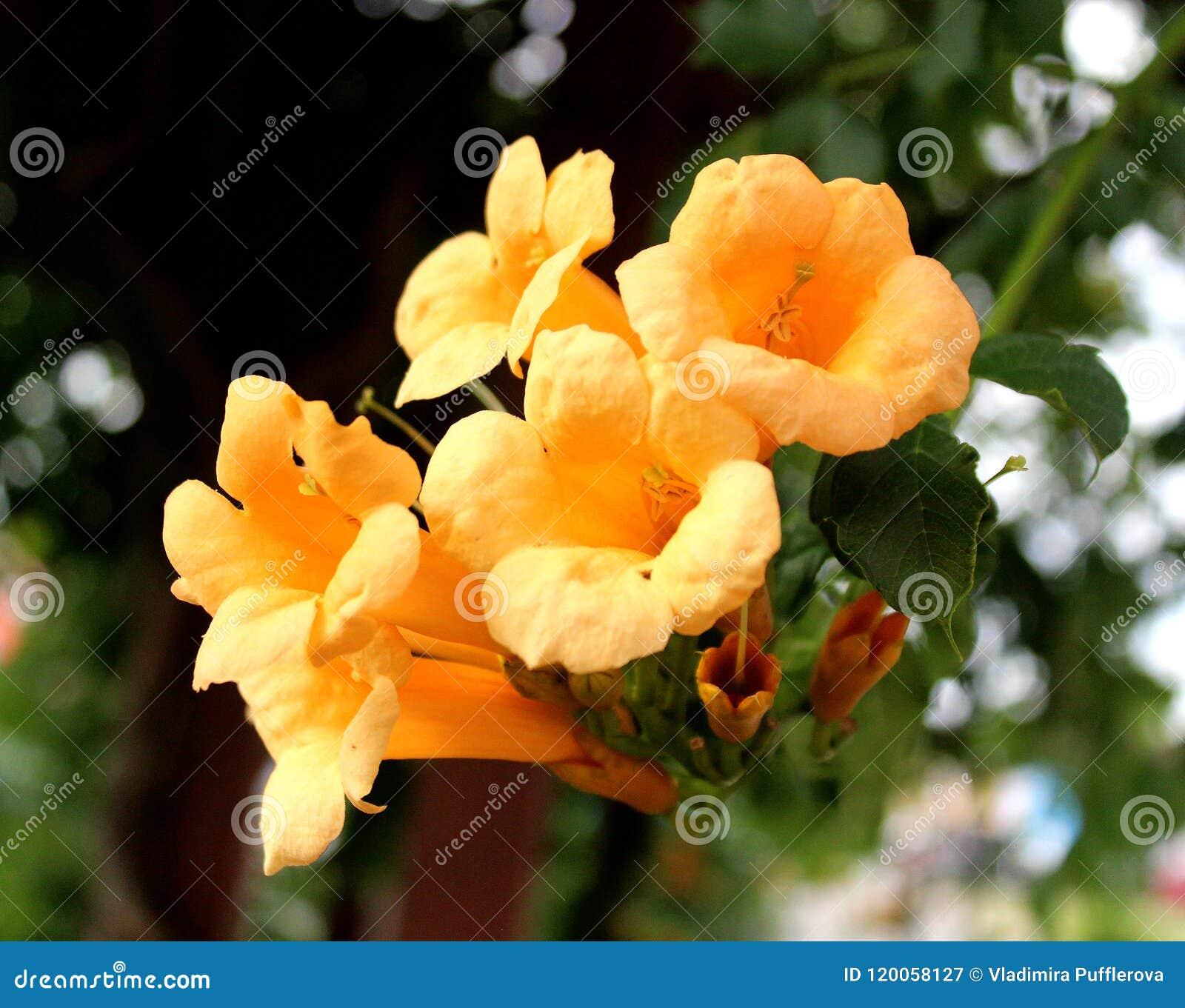 Trumpet Vine Favourite Ornamental Plant Stock Image Image Of
