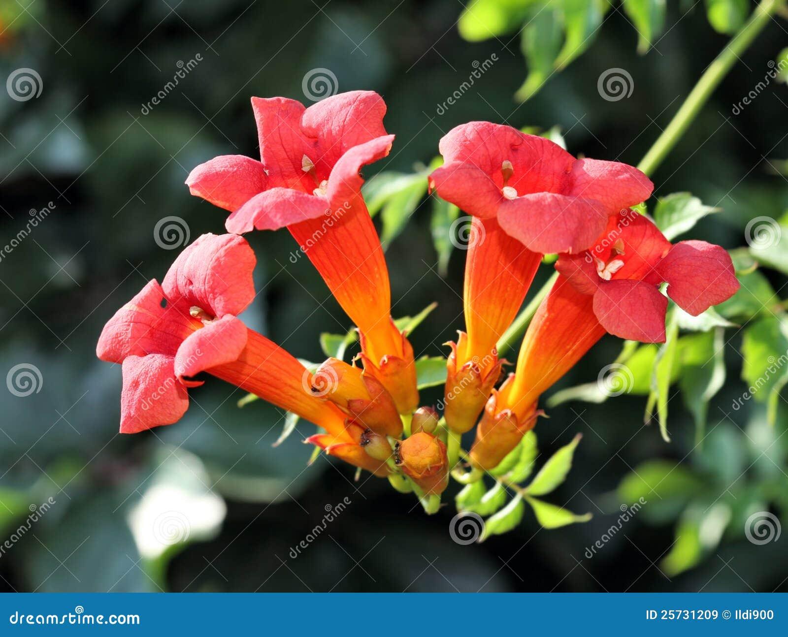 Trumpet vine flowers.