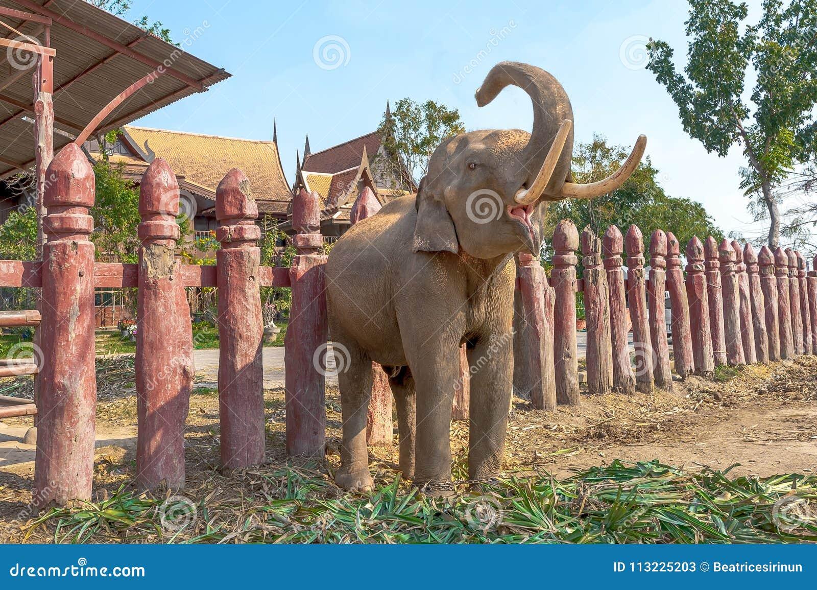 Trumpeta för elefant Vråla för elefant