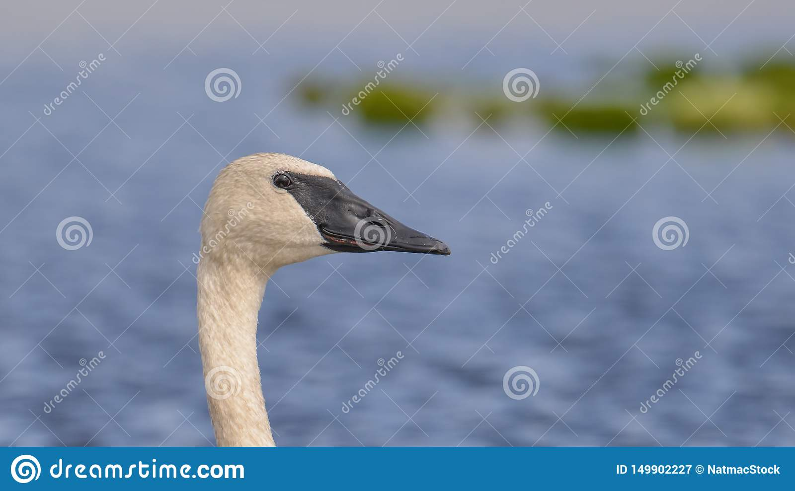 Trumpeter swan portrait with detail of beautiful plumage, eye, and beak - at the end of summer - taken in the Crex Meadows Wildlif