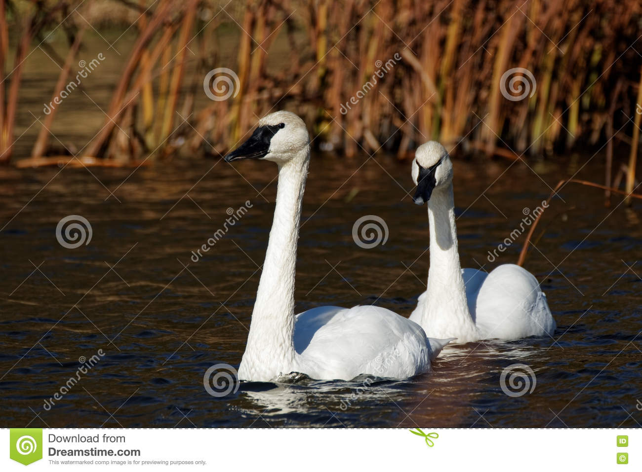 Swans Have Come Back >> Trumpeter Swans On The Water Stock Photo Image Of Water Avian