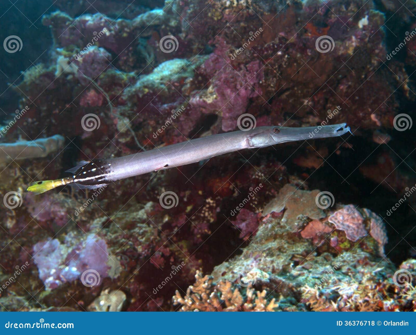 Trumpetfish chino