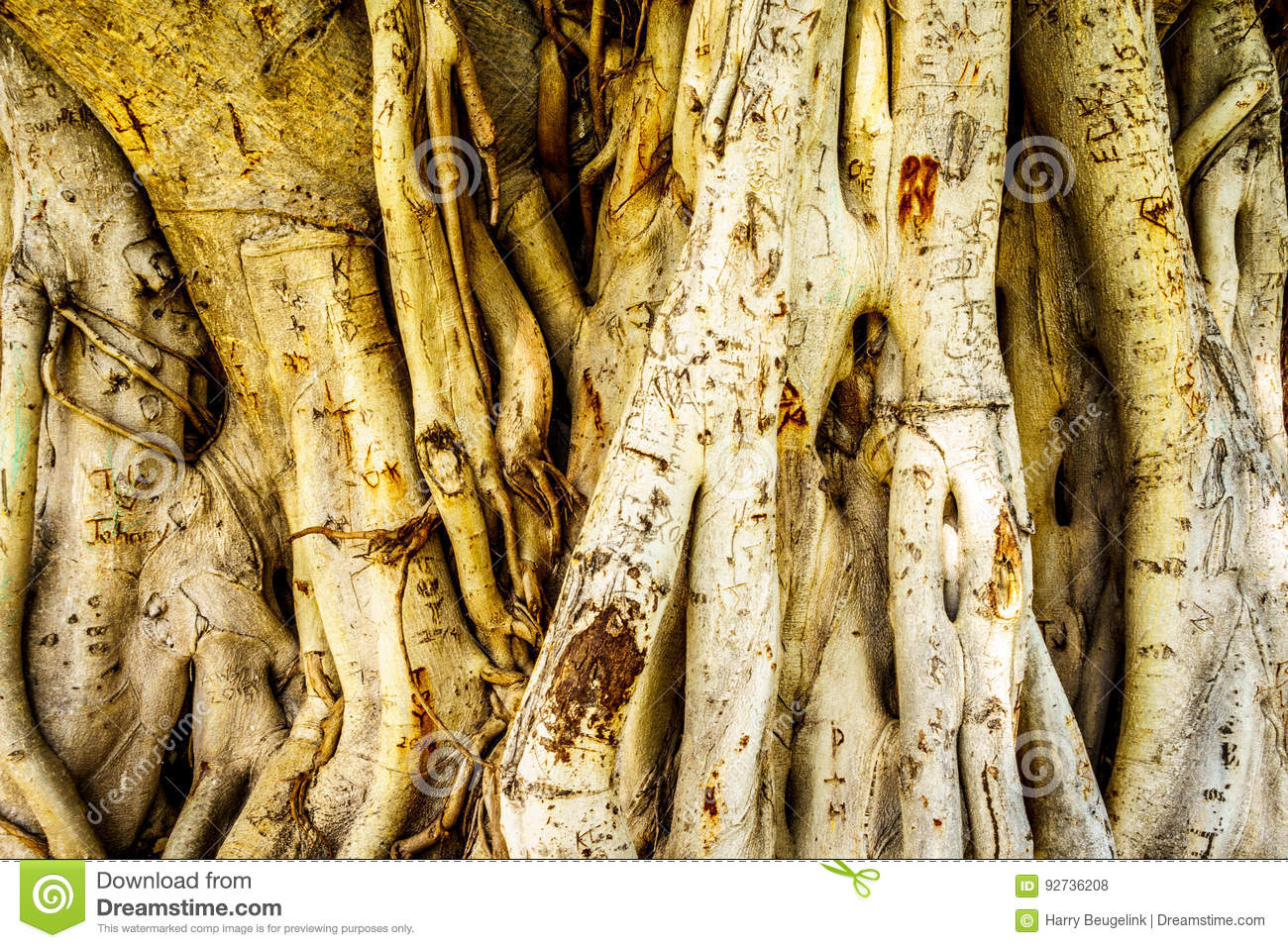 Trunk and air roots of a Banyan Tree carved with names