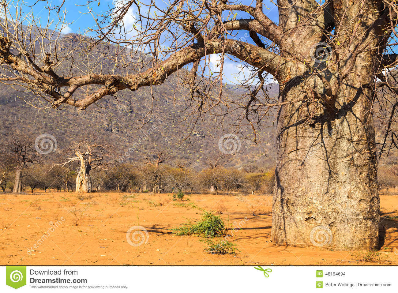 Trunk of baobab tree in a baobab forest