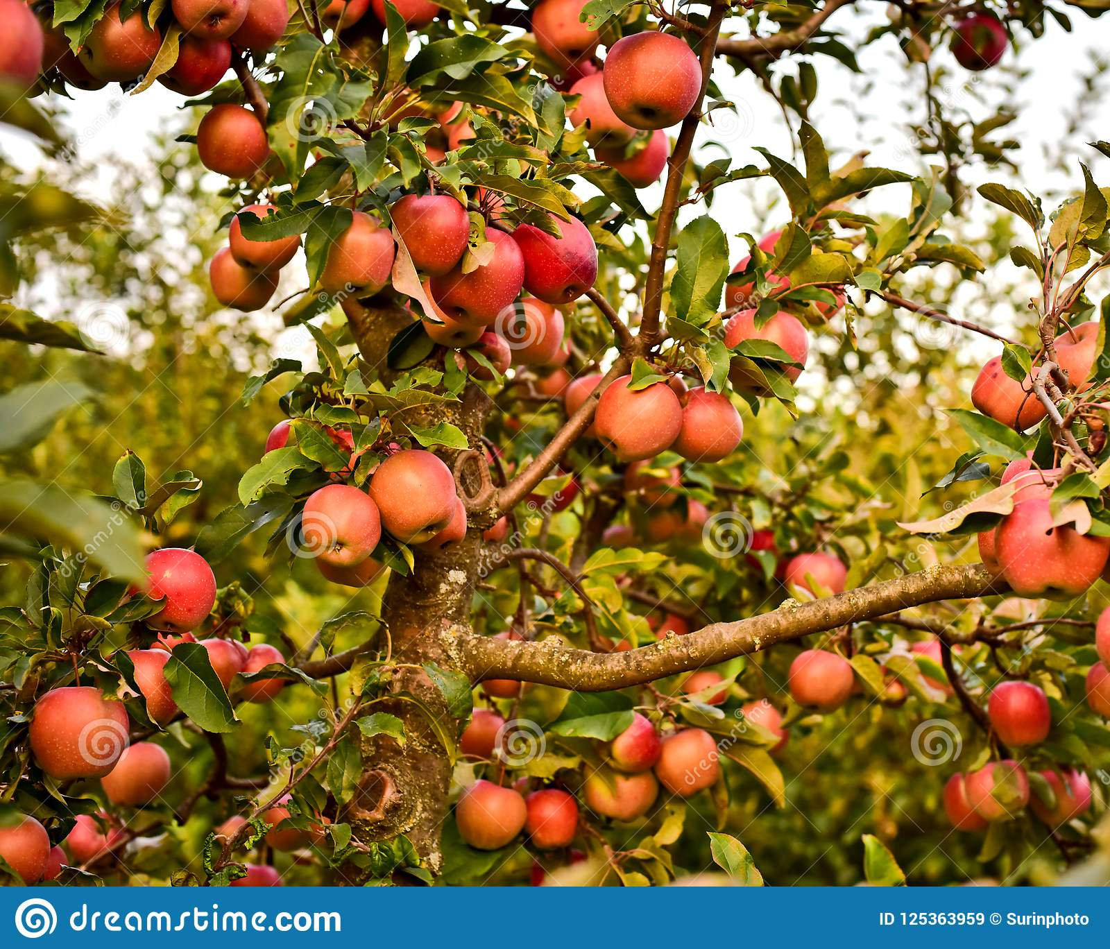 Trunk and branches of apple and many red apples