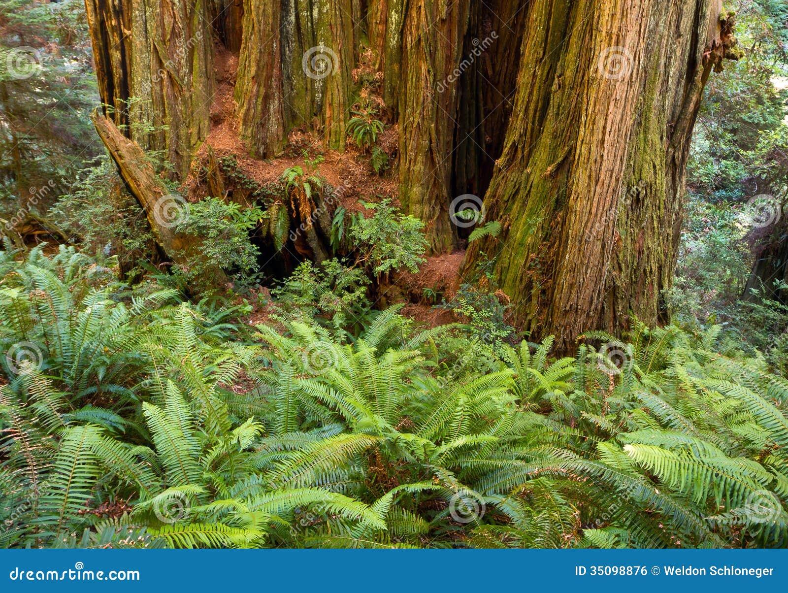 Trunk of California redwood tree among ferns