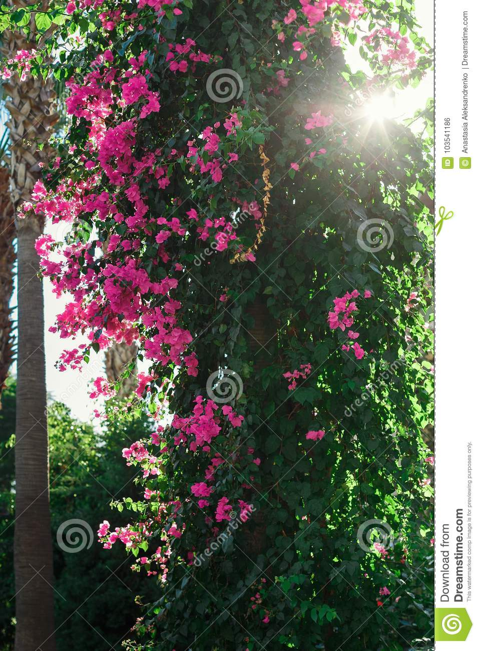 On the trunk of palm trees pink flowers of greece stock photo download on the trunk of palm trees pink flowers of greece stock photo image of mightylinksfo