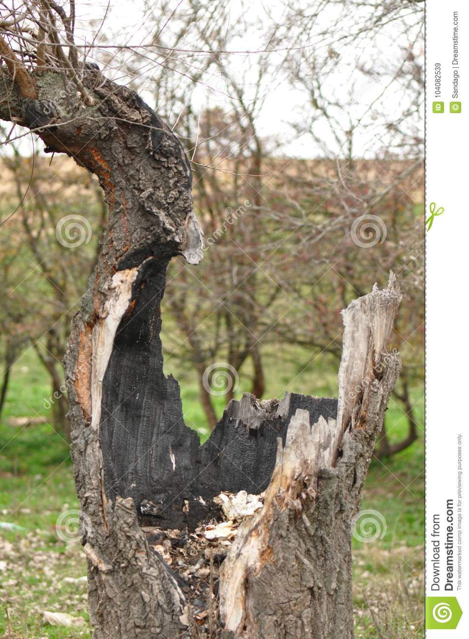 Image result for oak tree struck by lightning stump