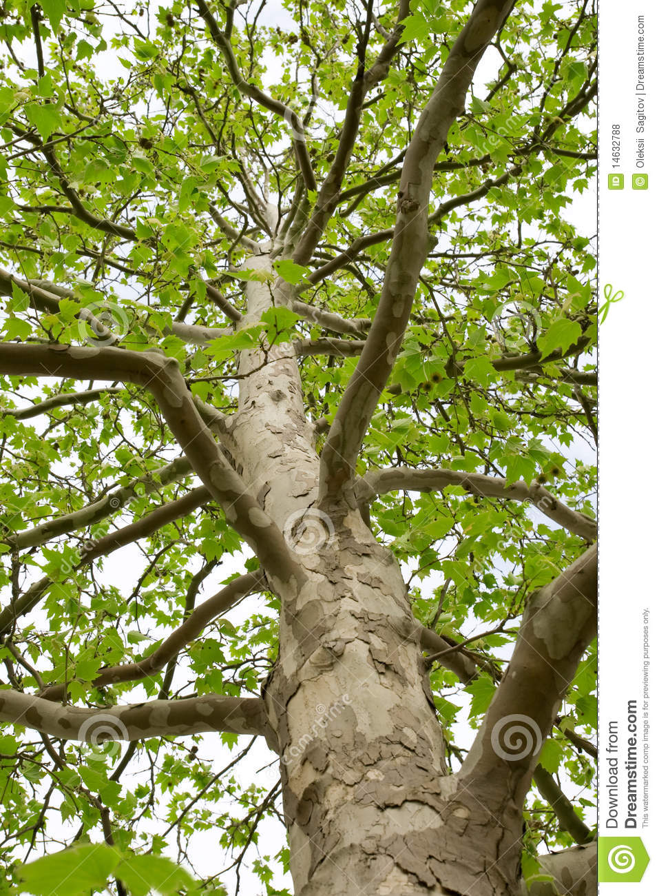 Download The Trunk Of A Tree With Large Branches Stock Photo - Image of tree, bark: 14632788