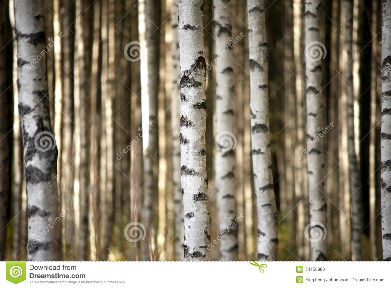 Birch trees in the winter stock photo image 2170700 - Trunks Of Birch Trees Stock Photo