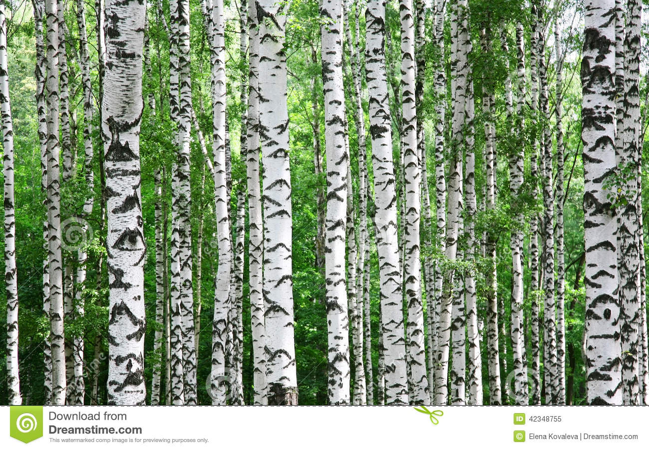 Trunks Of Birch Trees In Summer Stock Photo Image 42348755