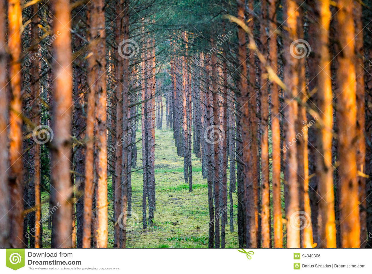 trunks of pines