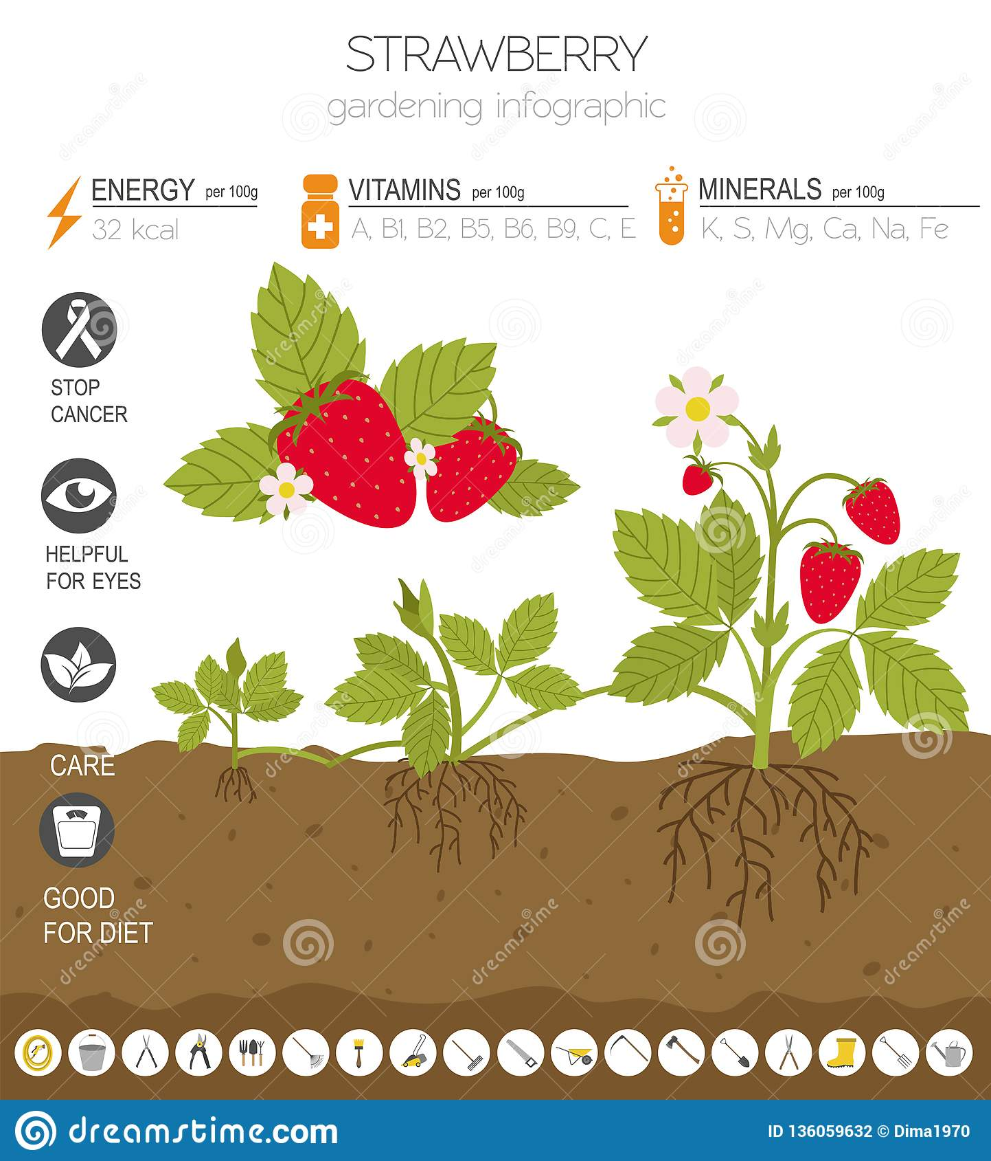 Truskawek cech grafiki korzystny szablon Uprawiać ogródek, uprawiać ziemię infographic, jak ono r Mieszkanie stylu projekt