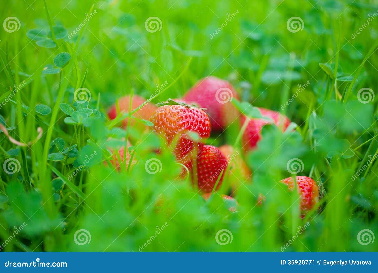 Truskawki na zielonej trawie