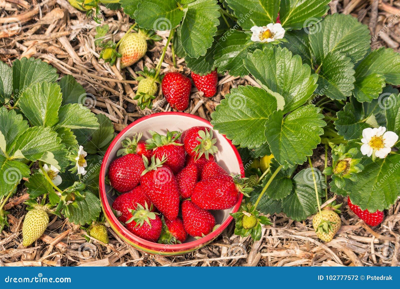 Truskawkowe rośliny z pucharem świeżo ukradzione truskawki
