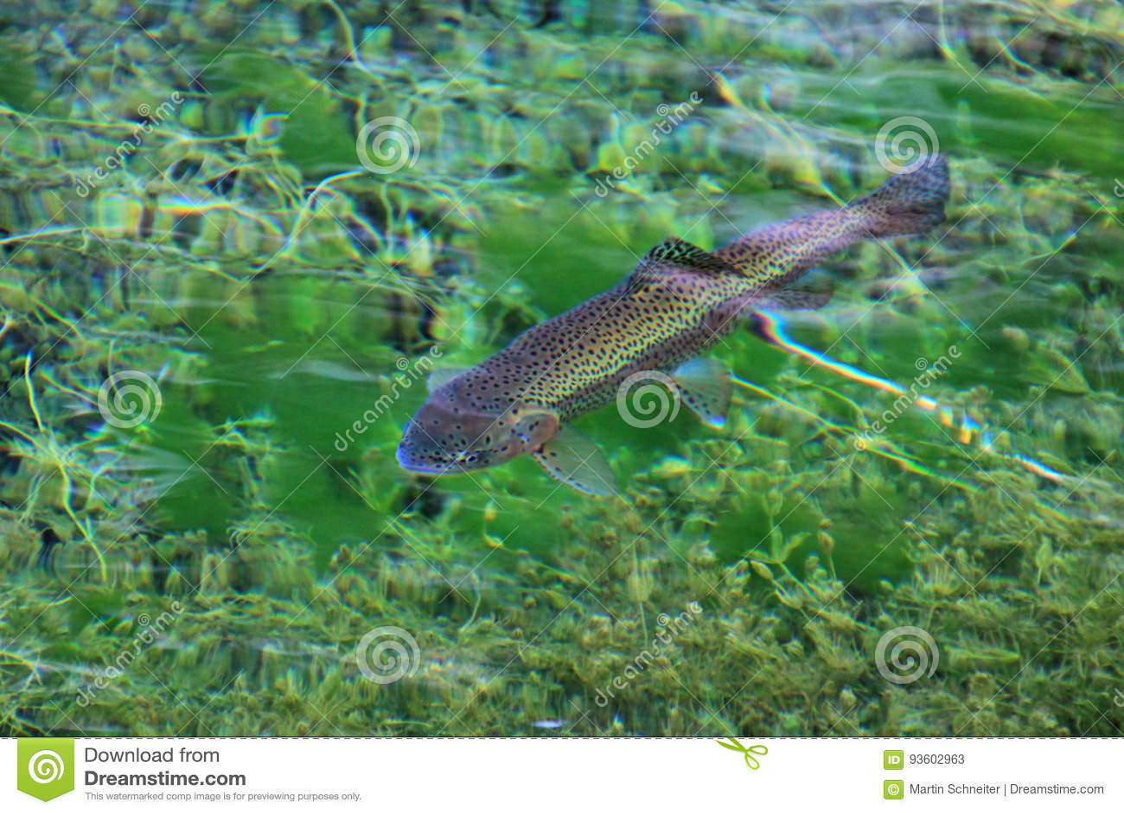 Truta Arco-íris Na água Do Lago Claro Laguna Nina Encantada