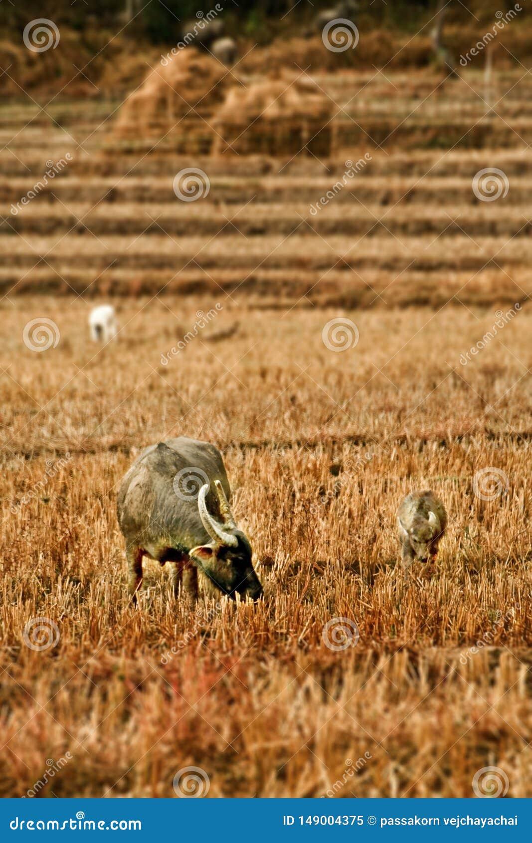 Trwanie bizon je trawy w polu