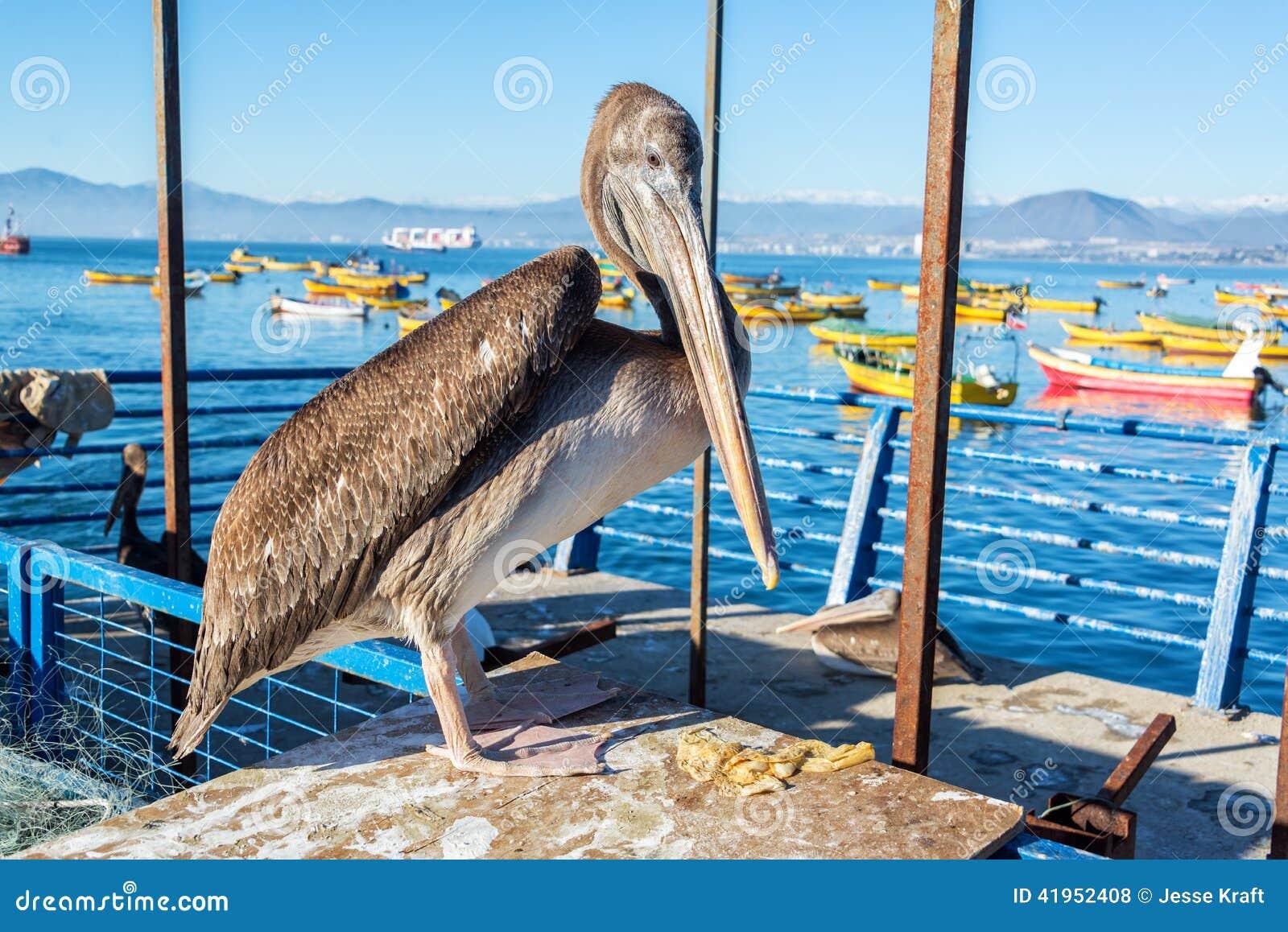 Trwanie pelikan w Coquimbo