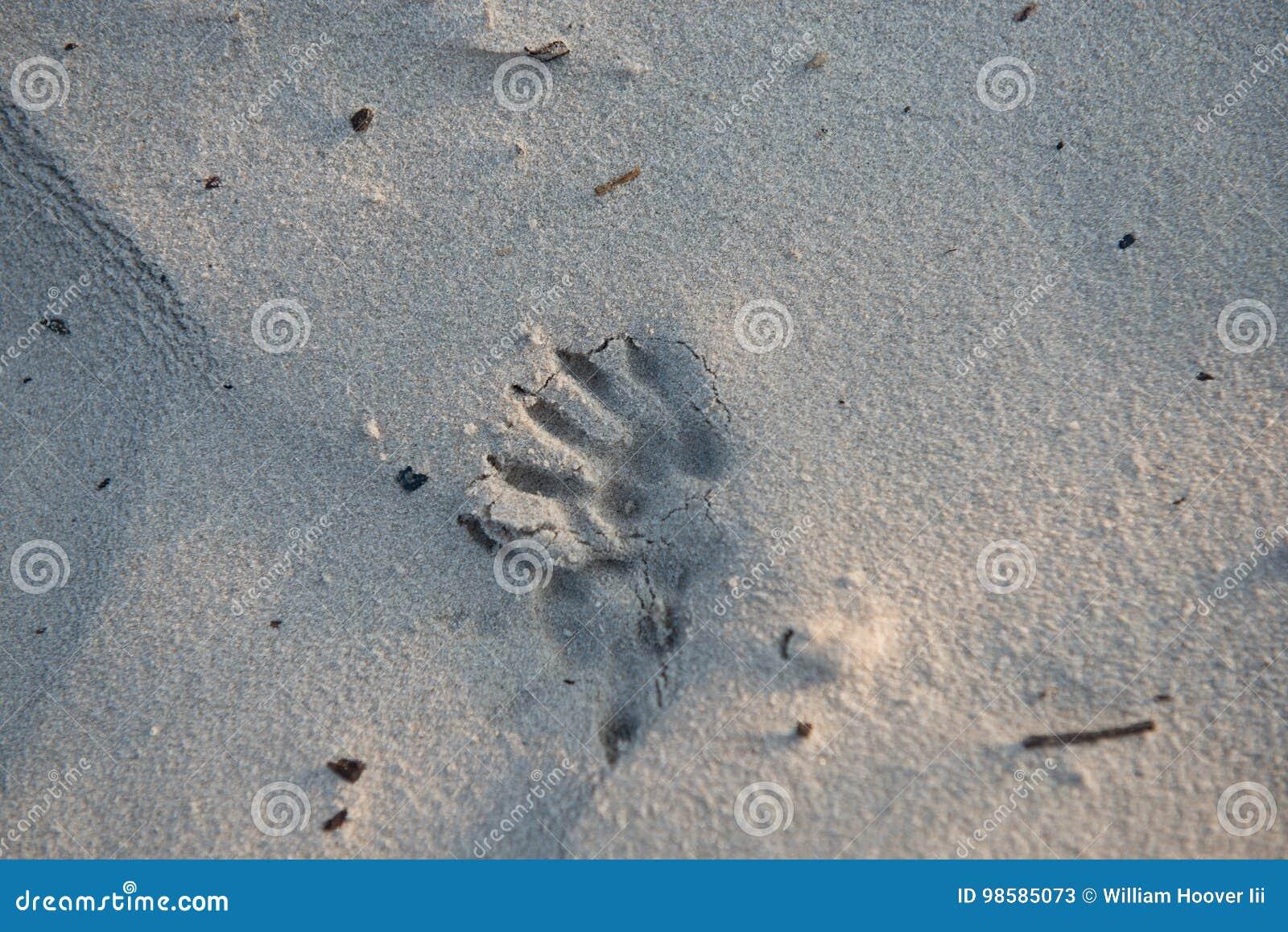 Tryck för djur fot i sanden