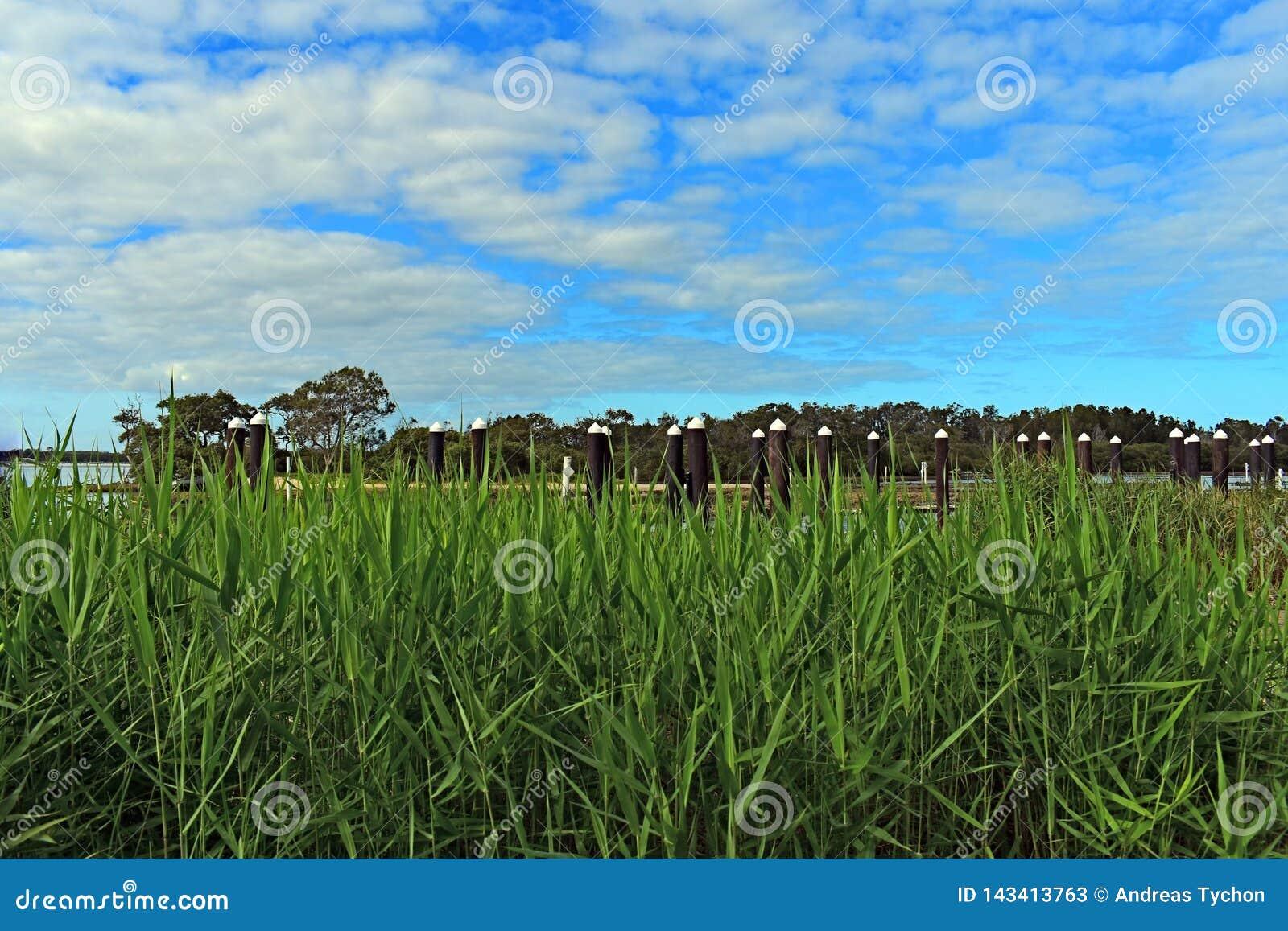 Trzcinowej trawy przedpole z niebieskimi niebami