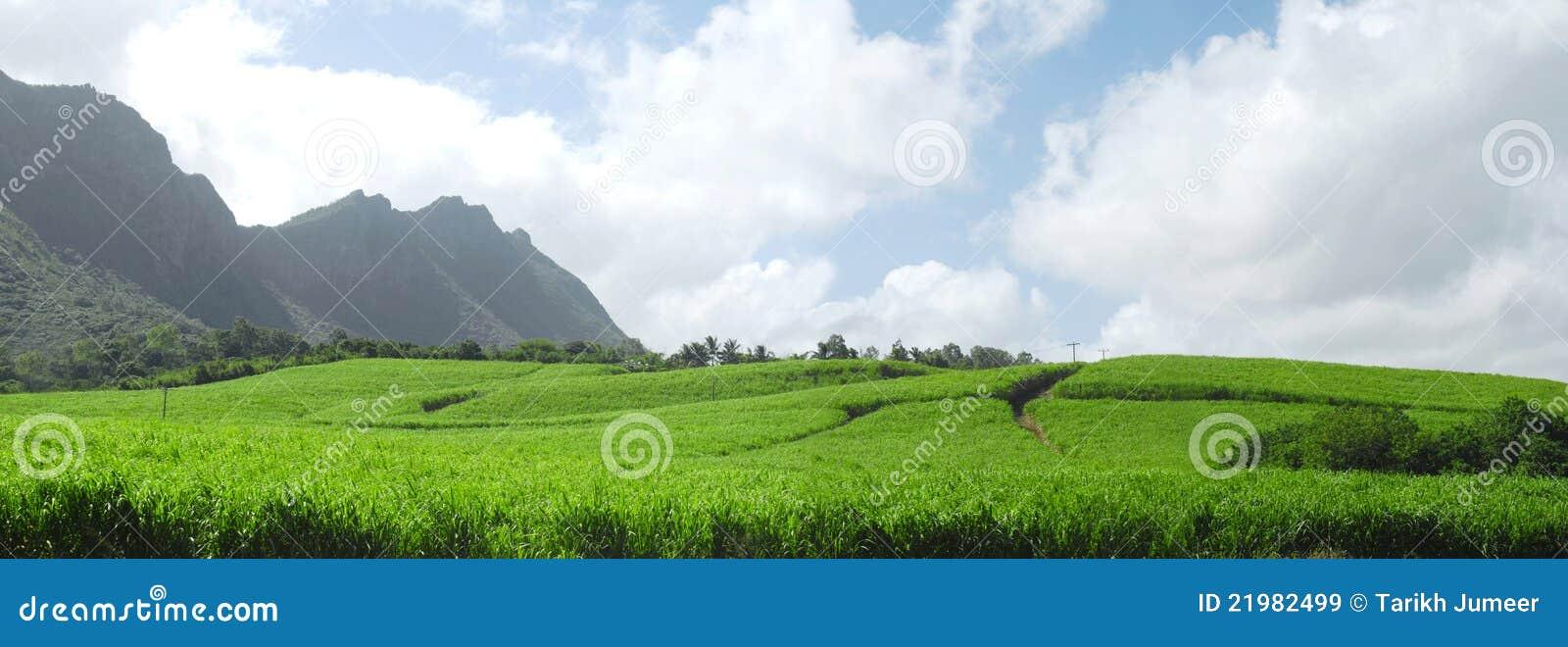 Trzciny Mauritius panoramiczny cukier