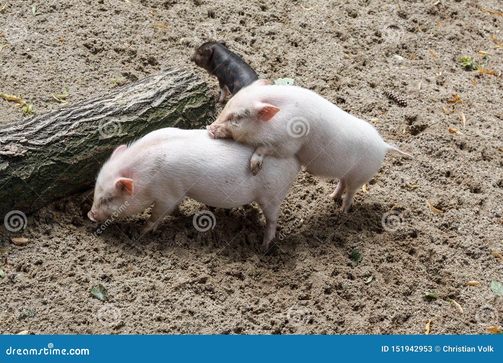 Trzy świni ma niektóre zabawę