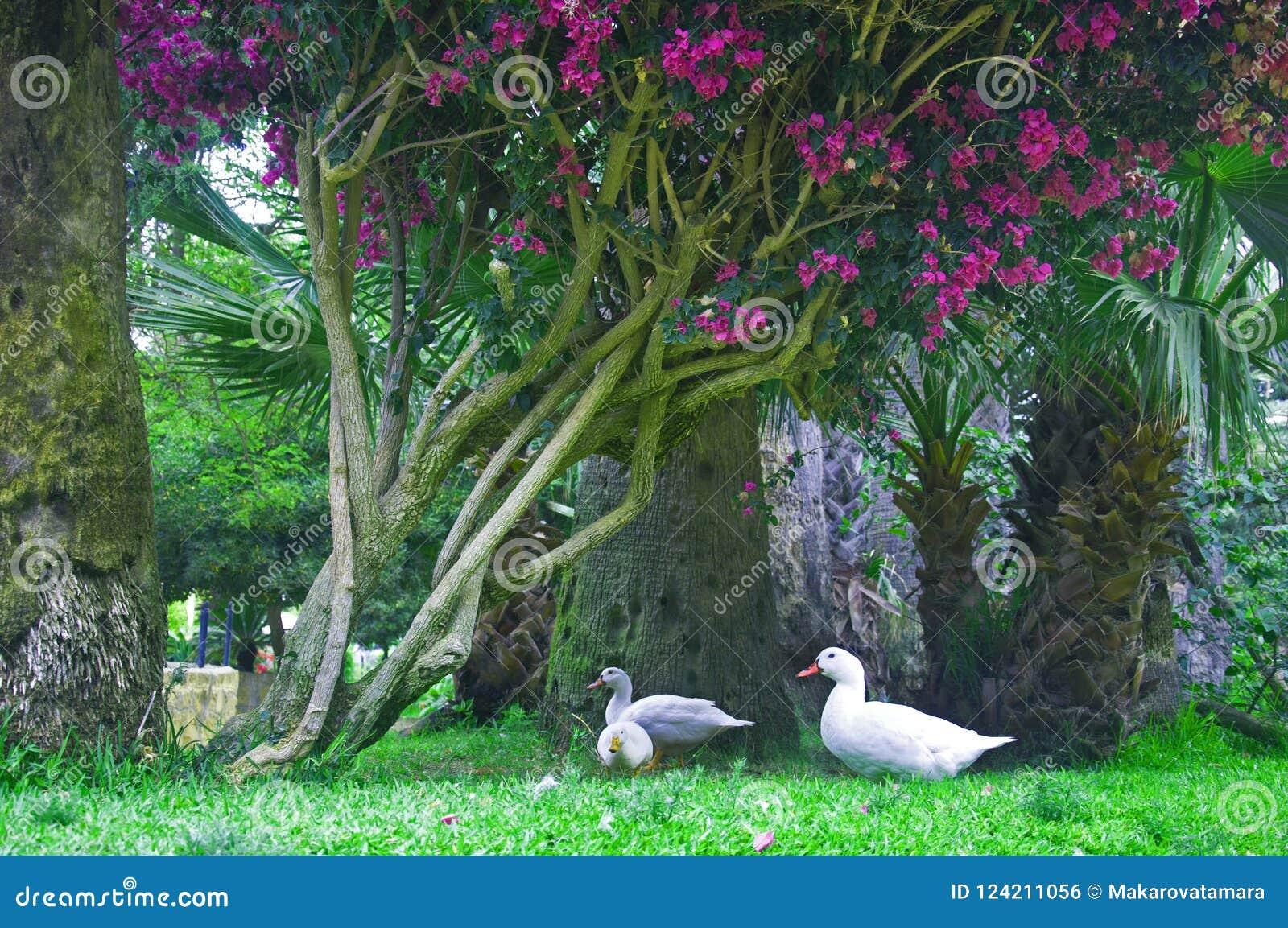 Trzy białej kaczki pod drzewem z purpurowymi kwiatami