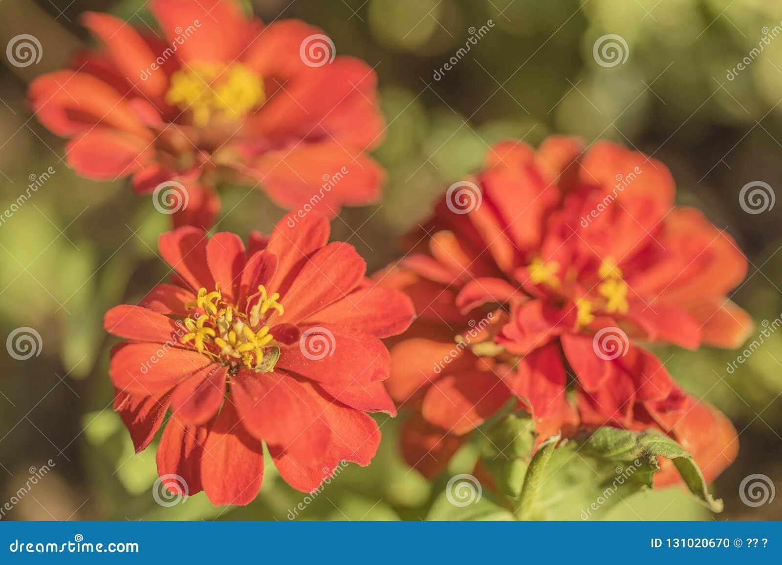 Trzy czerwonego kwiatu z żółtymi stamens