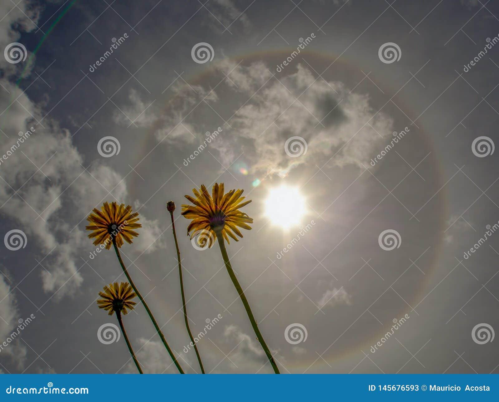 Trzy dandelion kwiatu przeciw słoneczny halo