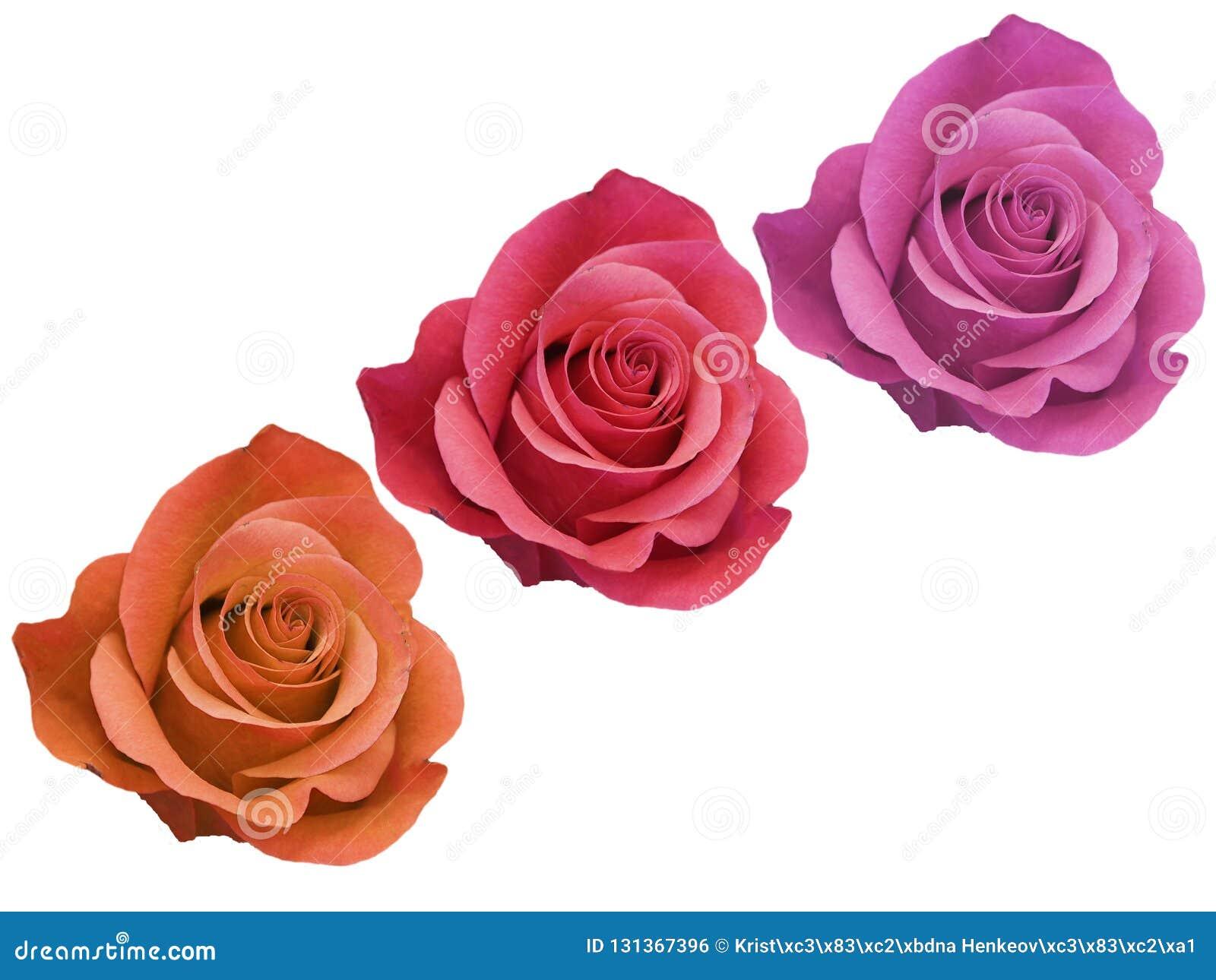 Trzy Flowerhead Różana czerwona pomarańcze i menchie Odizolowywający na Białym tle Odgórny widok, żadny cienie, głęboka ostrość