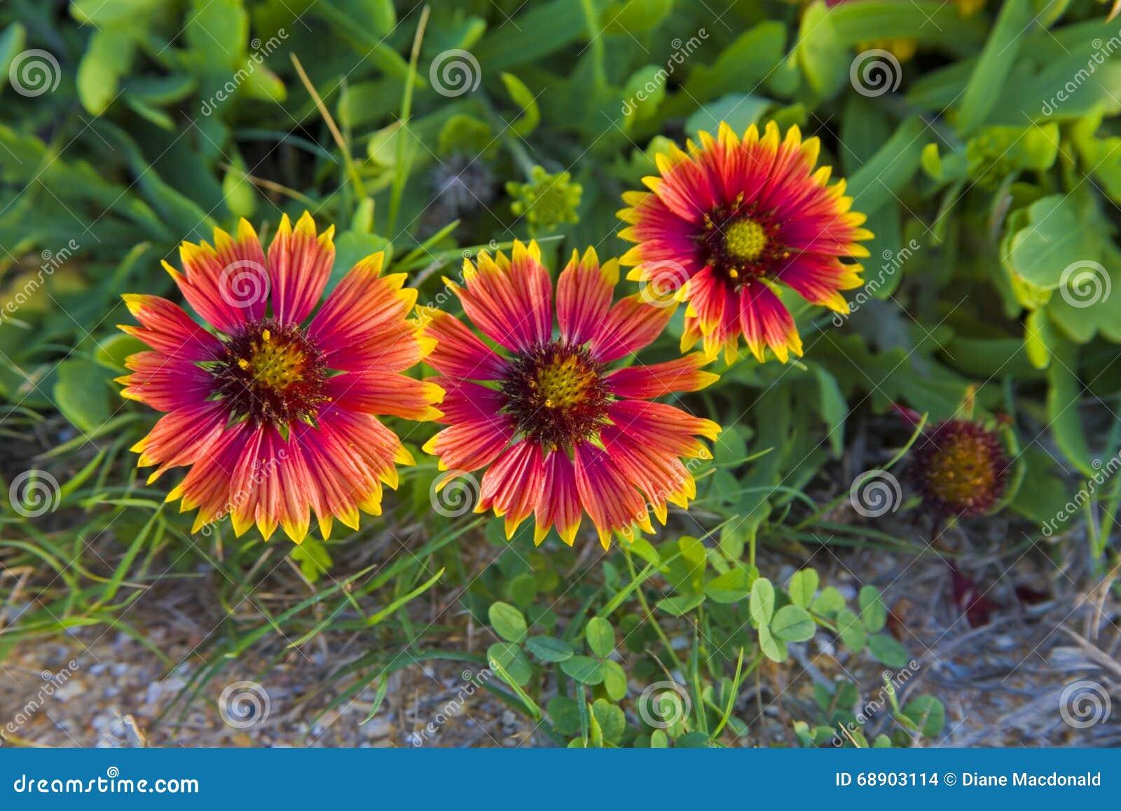 Trzy galardia kwiatu